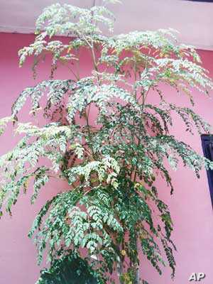 The moringa plant is sometimes used as a nutritional supplement