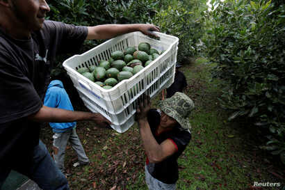 Farmworkers load crates of freshly picked avocados into a truck at a plantation in Tacambaro, in Michoacan state, Mexico, June 7, 2017.