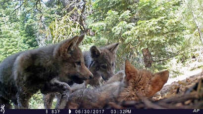FILE - This June 30, 2017, remote camera image released by the U.S. Forest Service shows a female gray wolf and her mate with a pup born in 2017 in the wilds of Lassen National Forest in Northern California.