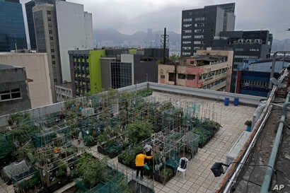FILE - Farmers work at a rooftop vegetable garden of an industrial building in Hong Kong, March 18, 2018. High above downtown Hong Kong's bustling, traffic-clogged streets, a group of office workers toil away harvesting food.