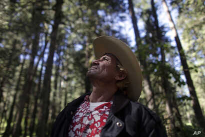 In this photo taken Nov. 5, 2010, Javier Bueno Mercado, a community forest guardian, looks up at the forest in San Juan Xoconusco, part of the wintering grounds of the Monarch butterfly, in the mountains west of Mexico City.