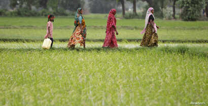 FILE - Farmers walk through a paddy field at Bhat village on the outskirts of the western Indian city of Ahmedabad, July 30, 2012.