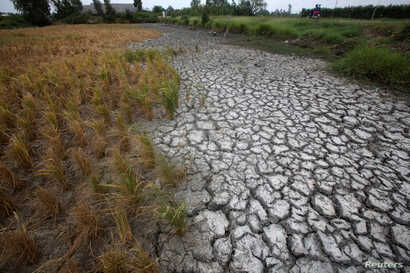 FILE - Dried-up rice is seen on a paddy field stricken by drought in Soc Trang province in Mekong Delta in Vietnam, March 30, 2016.