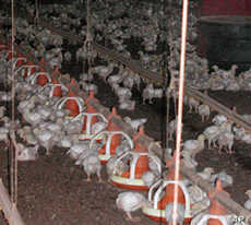 Virgil Shockley's chicken house is one of 5,600 on the Delmarva peninsula