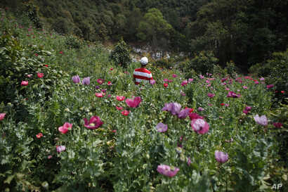 FILE - A farmer stands in his poppy field in the Sierra Madre del Sur mountains of Mexico, Jan. 25, 2015. The heroin trade is a losing prospect for everyone except the Mexican cartels, who have found a new way to make money in the face of falling coc...