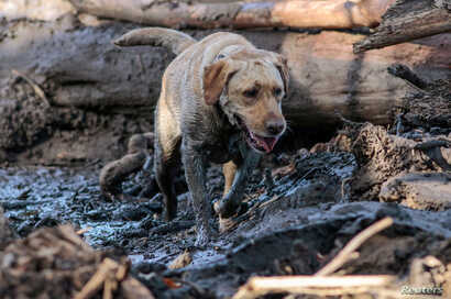 A search and rescue dog is guided through properties after a mudslide in Montecito, California, Jan. 12, 2018.