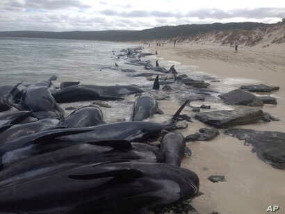 More than 150 short-finned pilot whales became beached at Hamelin Bay, in Western Australia, March 23, 2018. A shark warning has been issued after many of the whales died.