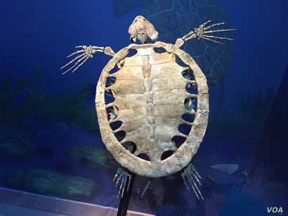 This full-size fossil reconstruction of a sea turtle from the prehistoric South Atlantic looks very similar to the giant sea turtles which still swim in our oceans today. (J.Taboh/VOA)