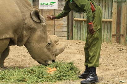 Sudan, the world's last remaining male northern white rhinoceros, and his keeper at Ol Pejeta conservancy, Laikipia Plateau, Kenya, April 28, 2016. The conservancy is home to the last three white rhinos on Earth.
