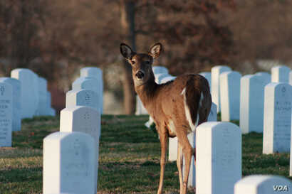 Deer grazing in Jefferson Barracks National Cemetery. (Philip Leara, Creative Commons)