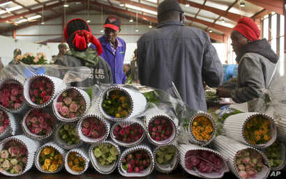 FILE - Workers pack roses for Valentine's Day, at the AAA Growers' farm in Nyahururu, four hours' drive north of the capital Nairobi, in Kenya, Feb. 1, 2016.