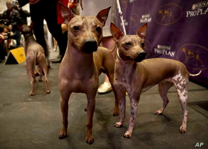 Candy, 2, left, Rodney, 7, center, and Johnny, 2, three American Hairless Terrier breeds owned by Virginia's Sue Medhurst are shown at a news conference, Monday Jan. 30, 2017, in New York. The dogs are among three new breeds competing in the Westmins...