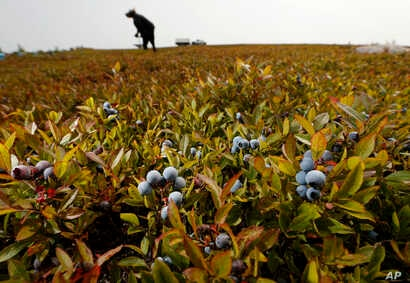 A worker rakes wild blueberries at a farm in Union, Maine, Aug. 24, 2018.