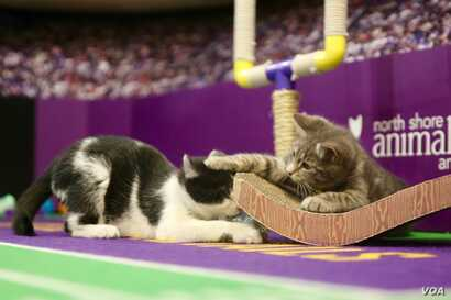 The action gets rough at the Kitten Bowl display, an annual playful battle between felines on the Hallmark Channel.