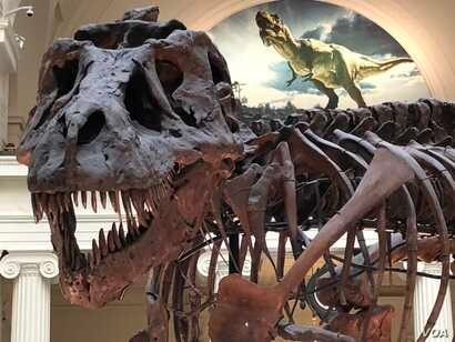 """Sue"" the T-Rex in her current home on display in Stanley Field Hall at the Field Museum in Chicago."