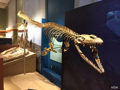 The seafaring lizard Prognathodon kianda was a top predator in the Cretaceous waters. Scientists named this species after Kianda, the ruler of the ocean in Angolan mythology. (J.Taboh/VOA)