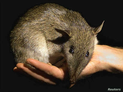 A native Australian Long-nosed Bandicoot is held by its keeper as it is moved after a medical check-up at Sydney's Taronga Zoo, March 27, 2001. This orphaned baby bandicoot was saved from an attack by a domestic pet, which have reduced the number of ...