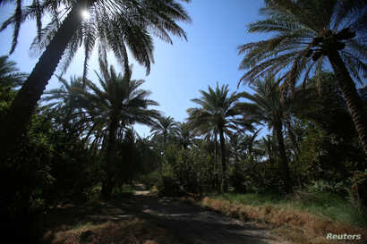 FILE - Date palm trees are seen at a farm, in Kerbala, Iraq, Oct. 14, 2017.
