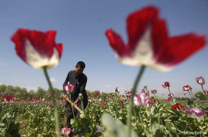 An Afghan man works on a poppy field in Jalalabad province April 17, 2014.