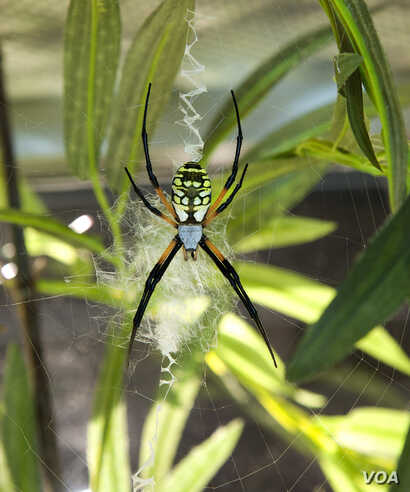 Orb weaver spiders, found around the world, spin large webs which often contain striking designs. Charlotte's Web author E.B. White, who consulted with a museum curator while writing the classic children's book, named the main character Charlott...