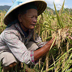 A Chinese farmer checks hybrid rice at a test field in Tiandu county, Sanya, in south China's Hainan province (File)