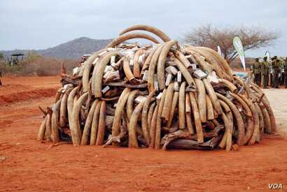 Ivory that was confiscated in Singapore in 2002 and returned to Kenya was burned during the first African Elephant Law Enforcement Celebrations held on July 20, 2011 at Kenya Wildlife Services Field Training School at Manyani, Kenya. (Steve Njumbi / ...