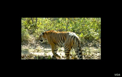 Chitwan National Park, at the foot of the Himalayas in Nepal,  is famous for its tigers.  Credit: Center for Systems Integration and Sustainability, Michigan State University