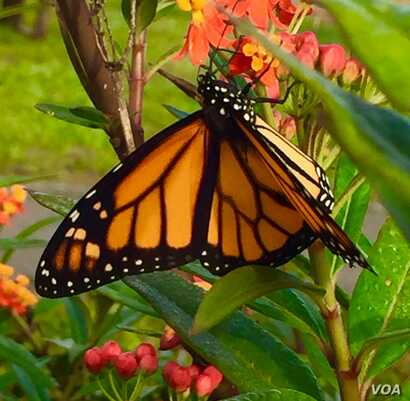 A male monarch butterfly displays the species' distinctive black and orange pattern. (Photo: B. Dennee)