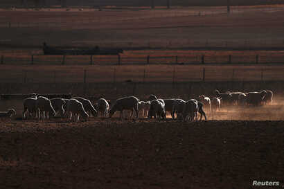 Sheep are seen in a drought-affected paddock on a property located on the outskirts of Tamworth, in northwest New South Wales in Australia, June 1, 2018.