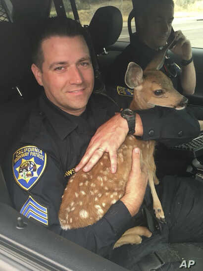 In this photo released July 28, 2018, by the California Highway Patrol, Sergeant David Fawson holds a month-old fawn that was located by Cal Fire without a mother inside the Carr Fire line near Redding, California.