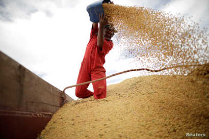 FILE - A worker inspects soybeans during the soy harvest near the town of Campos Lindos, Brazil, Feb. 18, 2018.