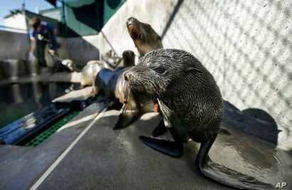 FILE - A Guadalupe fur seal, foreground, passes by as SeaWorld animal rescue team member Heather Ruce feeds a California sea lion at a rescue facility in San Diego, with rescue crews seeing a higher than average amount of stranded sea lions. Marine b...
