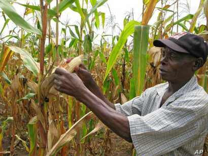 Spreading dryness would increase hunger in parts of Africa that depend on maize and rice, two crops that depend on plentiful rainfall.