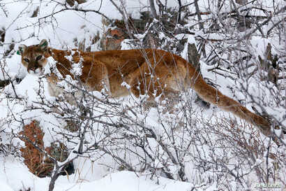 FILE - A mountain lion makes its way through fresh snow in the foothills of Colorado, April 3, 2014.