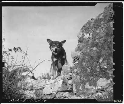 A U.S. Army dog, Chips, who saved the lives of his platoon during the Allied invasion of Sicily in 1943 was posthumously awarded the PDSA Dickin Medal on Jan. 15, 2018.
