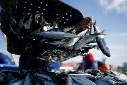 A fisherman unloads sardines at the port in Matosinhos, Portugal, May 28, 2018.