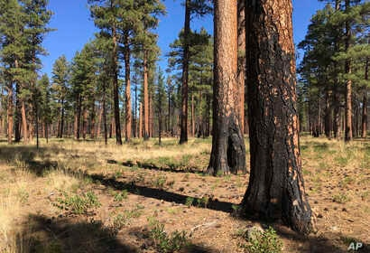 FILE - Charred trunks of Ponderosa pines stand near Sisters, Ore., Sept. 27, 2017, months after a prescribed burn removed vegetation, smaller trees and other fuel ladders.