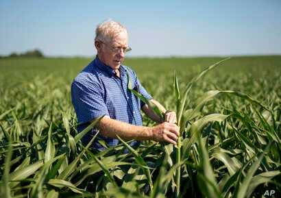 FILE - Farmer Don Bloss examines a tall sorghum plant in his field in Pawnee City, Neb.