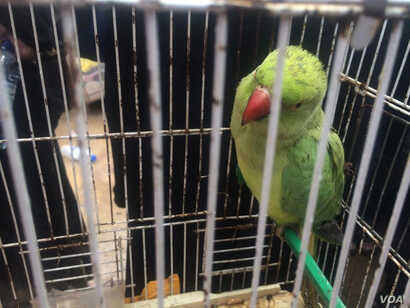 Zeena's pet parakeet, Mimi, fled IS like the rest of her family on April 3, 2017, in Hammam Alil, Iraq. (H. Murdock/VOA)