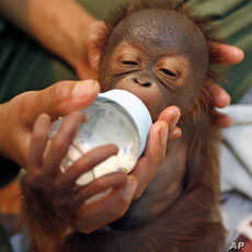 A keeper feeds Elmo, a four-day-old male baby orangutan from Borneo, in an animal hospital at Taman Safari in Bogor, West Java.