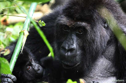FILE - A Grauer's gorilla cradles a youngster in the Kahuzi-Biega National Park in South Kivu, eastern Democratic Republic of the Congo, Nov. 5, 2012.