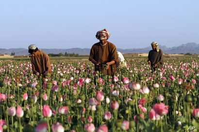 FILE - In this April 11, 2016, photo, farmers harvest raw opium at a poppy field in the Zhari district of Kandahar province, Afghanistan.