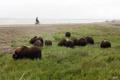 Lance Thomas, of Nome, Alaska, watches a herd of wild musk oxen, which were roaming the Nome-Council Road, along the Bering Sea coast just outside Nome, Alaska, Saturday, Aug. 20, 2016.