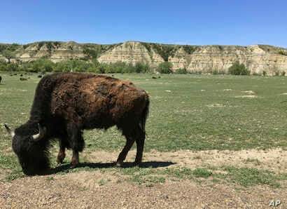 A bison munches grass in Theodore Roosevelt National Park in western North Dakota, May 24, 2017.