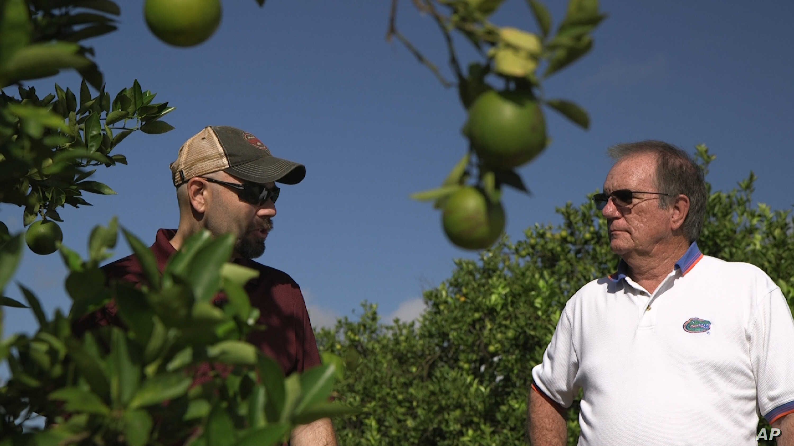 """Fred Gmitter, a geneticist at the University of Florida Citrus Research and Education Center, right, visits a citrus grower in an orange grove affected by citrus greening disease in Fort Meade, Fla., Sept. 27, 2018. """"If we can go in and edit the gene..."""