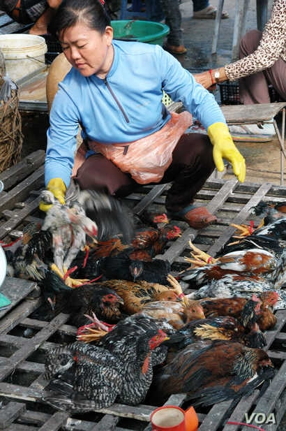 Vendor Ly Mey selects chickens for slaughter at her selling site at Chhbar Ampov market in Phnom Penh. (Robert Carmichael/VOA)