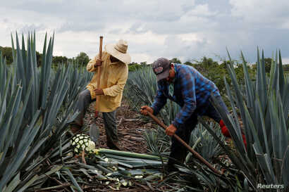 Farmers know as Jimador harvest in a blue agave plantation in Tepatitlan, Jalisco, Mexico, Sept. 6, 2017.