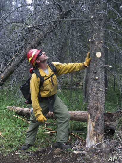 In this July 12, 2017, photo, Ben Brack, a firefighter and public information officer, tests the stability of a beetle-killed tree at the site of a wildfire locally called the Keystone fire, near Albany, Wyo. The fire was burning in a dense forest of...