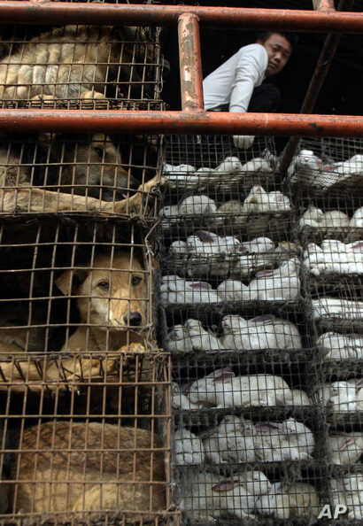 A Chinese man looks over cages of dogs and rabbits at a live-animal market in Guangzhou, Southern China, Tuesday, Jan 6, 2004…