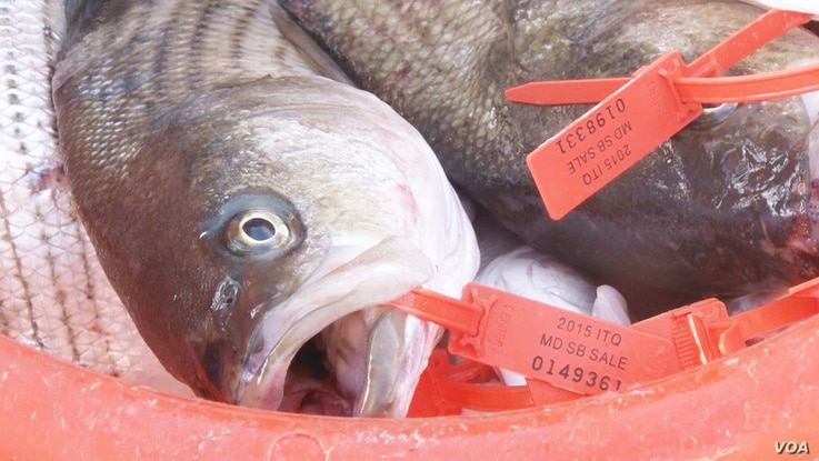 A catch shares program grants each fisherman a quota of fish that he or she can catch each season. (Photo: Steve Baragona / VOA)